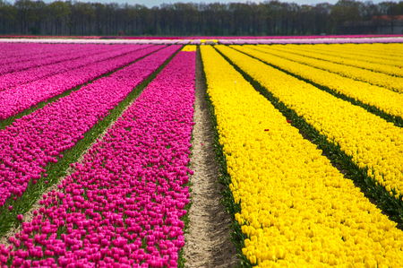 holland: Spring tulip fields in Holland, colorful flowers in Netherlands