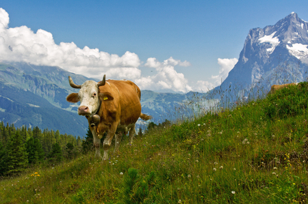 alp: Cow in idyllic alpine landscape, Alps mountains  and countryside in summer, Switzerland