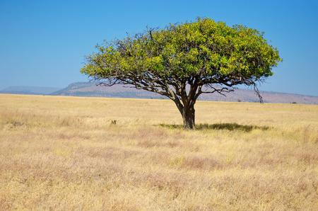 African savanna grassland landscape, acacia tree in savannah in Africa, Kenya