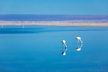 Flamingos in Chaxa lagoon salt lake, Atacama desert, Chile, South America