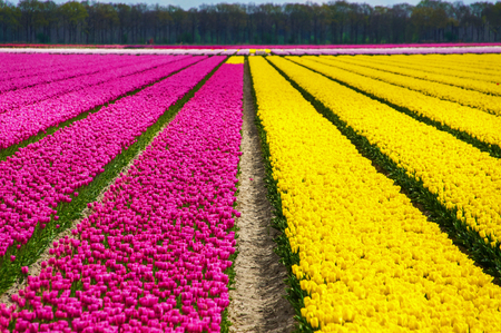 Spring tulip fields in Holland, colorful flowers of springtime in Netherlands