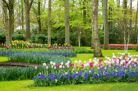 Beautiful spring tulips flowers in park in Netherlands (Holland) Reklamní fotografie