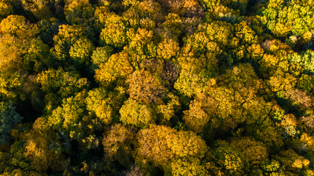 Golden autumn background, aerial top view of forest landscape with yellow trees from above