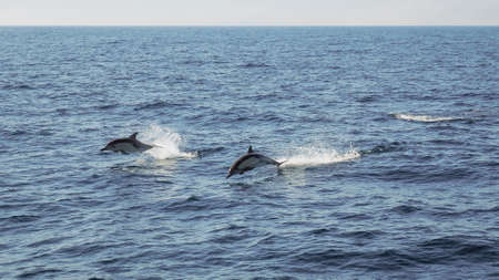 Two dolphins in midair as they jump out of the Pacific Ocean on a sunny day with water splashing around them.