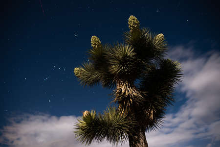 A Joshua Tree lit by the moon at night with Orion constellation, stars and clouds in the sky