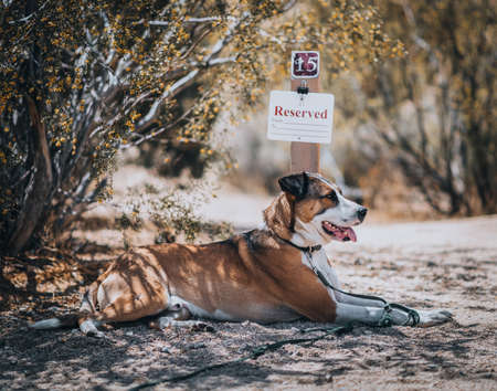 A dog resting by a 'reserved' sign at a campsite under a bush in the desert on a sunny morning.