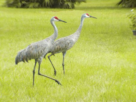 Mated Sand Hill Cranes