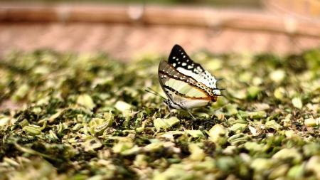 hojas secas: una mariposa en hojas secas