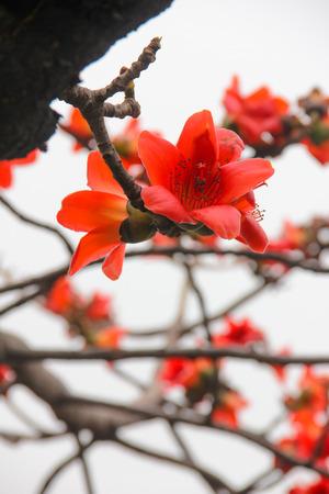 blooming: Blooming Kapok