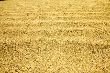 pastoral scenery: Harvest of rice