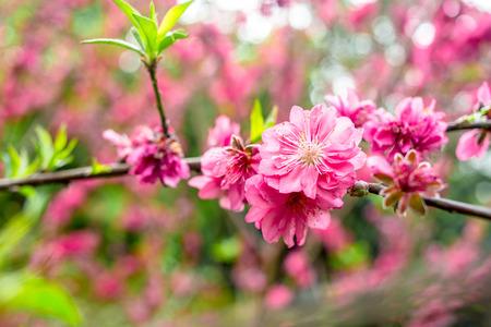 florescence: Peach Blossom