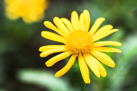 florescence: Close up to yellow daisy
