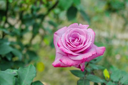 florescence: Purple Rose