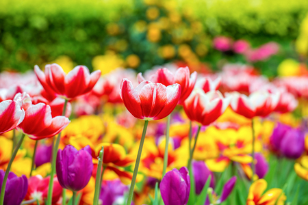 Close up to tulips in a garden