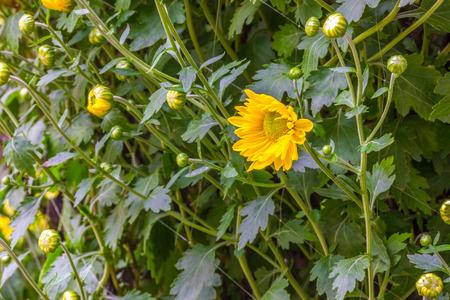 iluminado a contraluz: Chrysanthemum