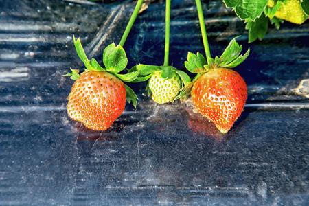 apical: Ripe strawberry