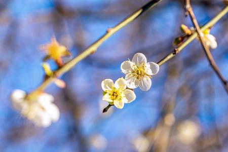 Blooming plum