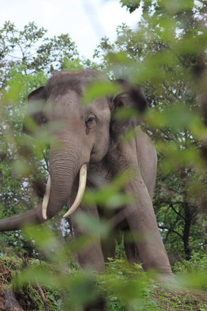 asian elephant: Asian Elephant
