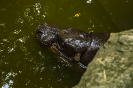 animals amphibious: Hippo swimming in the warm fresh water.