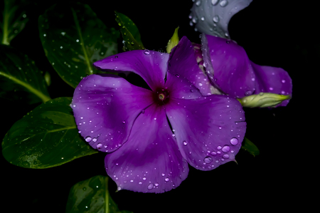 moonflower: Flower or blossom of a plant in a rainy night.