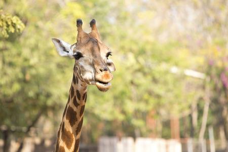 zoologico: Jefe de la jirafa.
