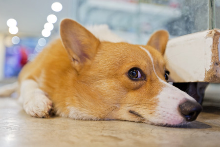 bend over: Pembroke wales corgi crouching on floor. Stock Photo
