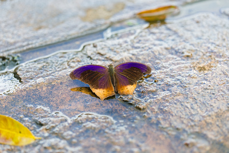assassin: The Royal Assassin butterfly. Stock Photo