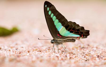 green jay: Mariposa común jay comido mineral en la arena.