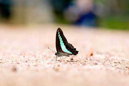 green jay: Mariposa com�n jay comido mineral en la arena.