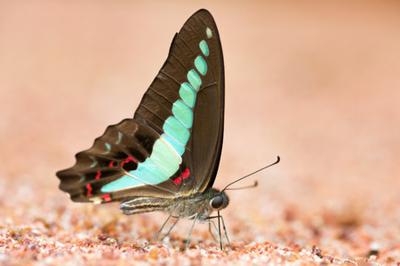 jay: Butterfly common jay eaten mineral on sand. Stock Photo
