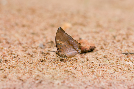 tawny: Scarce Tawny rajah eaten mineral on sand. Stock Photo
