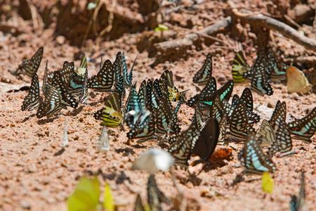 green jay: Grupo de mariposas comunes jay comido mineral en la arena.