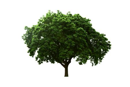 albero da frutto: Vecchio grande albero isolato sfondo bianco.