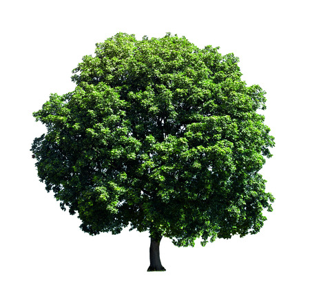 single tree: Big tree isolated on white background.
