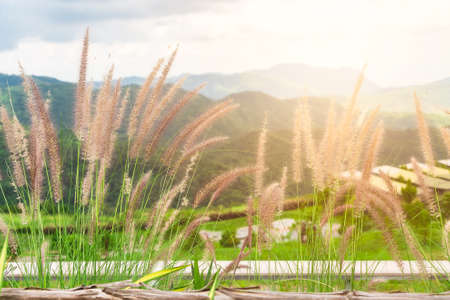Grass flowers in nature with mountain background. Poaceae grass flower Stockfoto