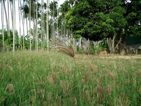 palm garden: Betel palm garden in country