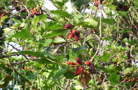 protect: Mulberry:Fruit protect Cancer.