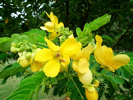 thai herb: Kare flower. Thai Herb
