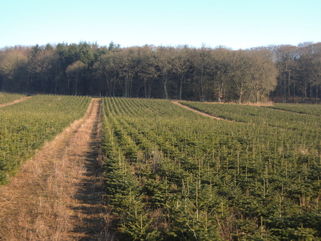 Christmas trees are being farmed for the coming seasons.
