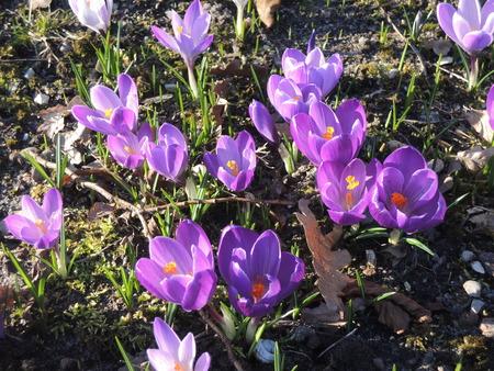 Crocus flowes in the Danish spring Standard-Bild