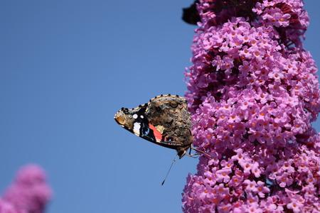 sucking: Butterfly sucking nectar on butterfly bush.