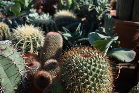 Selectie van cactussen op de wekelijkse markt in de stad Aarhus, Denemarken