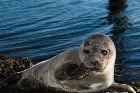Leuke grijze zeehond nemen een zonnen op een rots in de buurt van de haven. Stockfoto