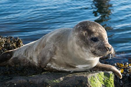 Cute gray seal taking a sunbath on a rock near the harbor.