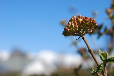 guelder rose: Guelder rose buds in garden, spring