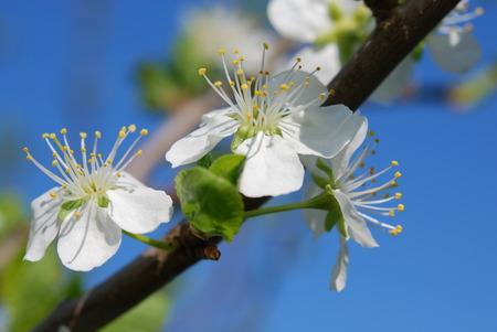 in bloom: Plum bloom in macro