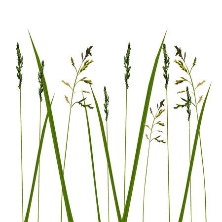 antihistamine: Allergy grass pollen isolated Illustration