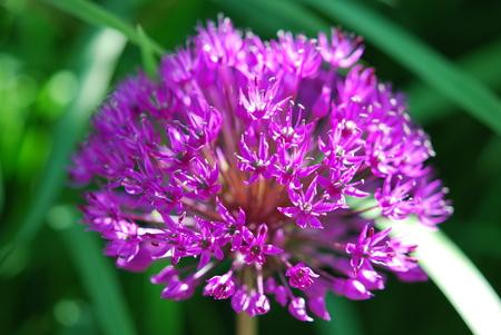 allium flower: Allium flower in macro