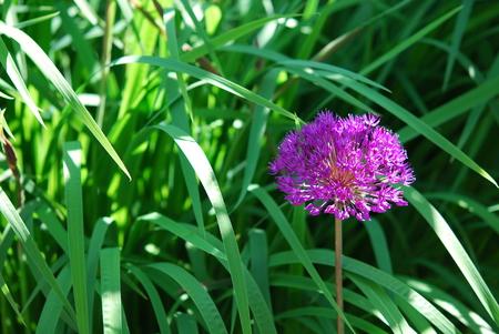 allium flower: Allium flower green background