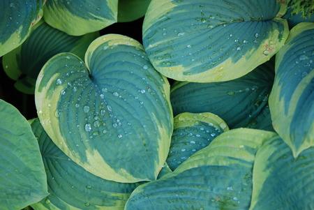 hosta: Nature background hosta funkia